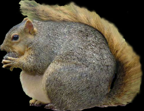 Fat, furry squirrel